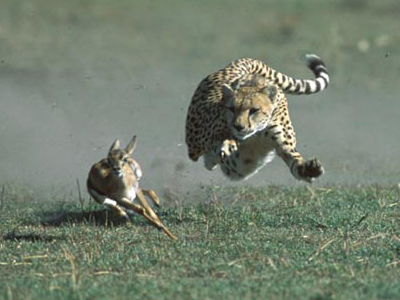gazelle running from lion - photo #2